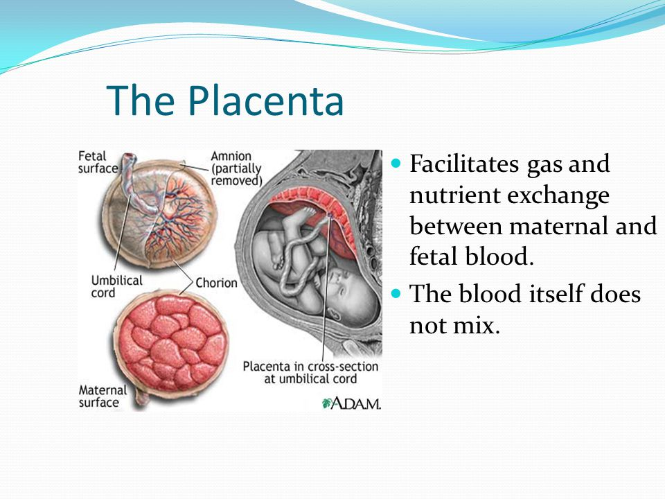 The Placenta Facilitates gas and nutrient exchange between maternal and fetal blood.