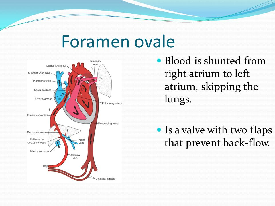Foramen ovale Blood is shunted from right atrium to left atrium, skipping the lungs.