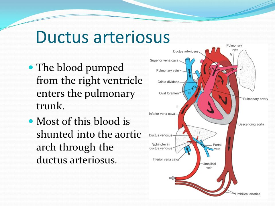 Ductus arteriosus The blood pumped from the right ventricle enters the pulmonary trunk.