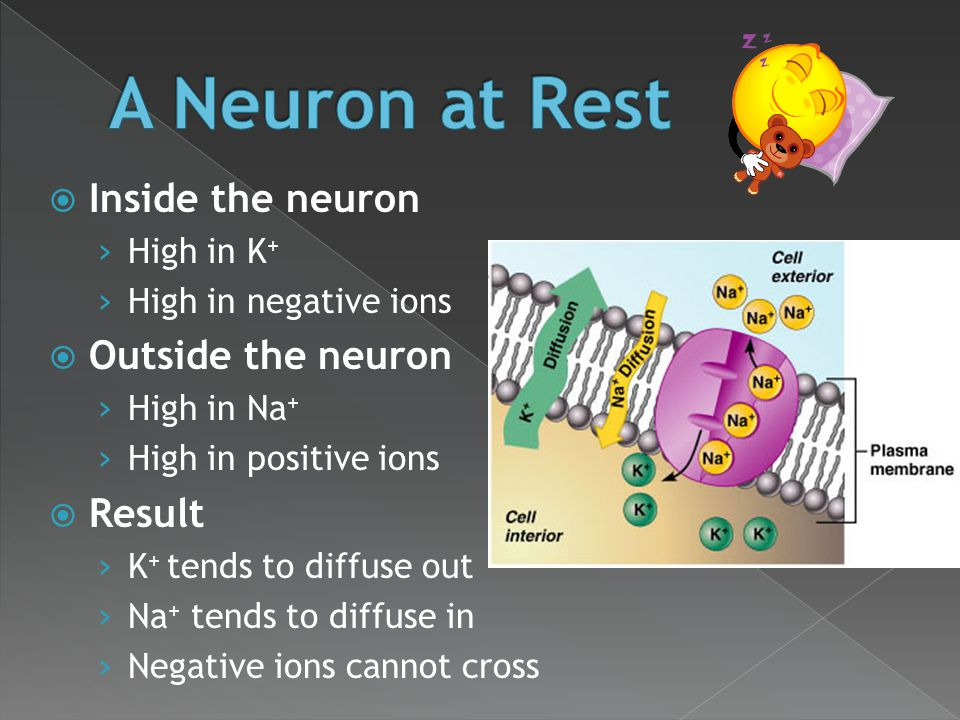 A Neuron at Rest Inside the neuron Outside the neuron Result