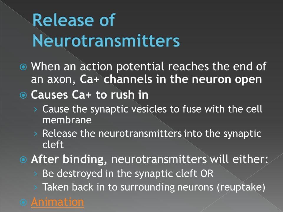 Release of Neurotransmitters
