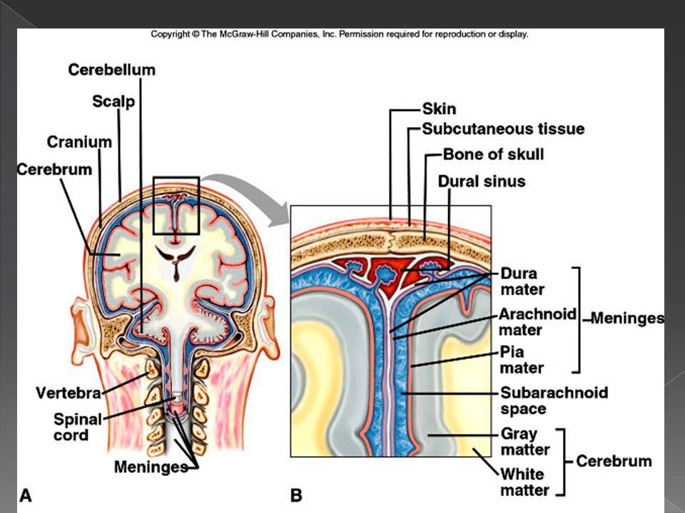 The Meninges (Brain) Cranial Bone Dura mater Arachnoid mater