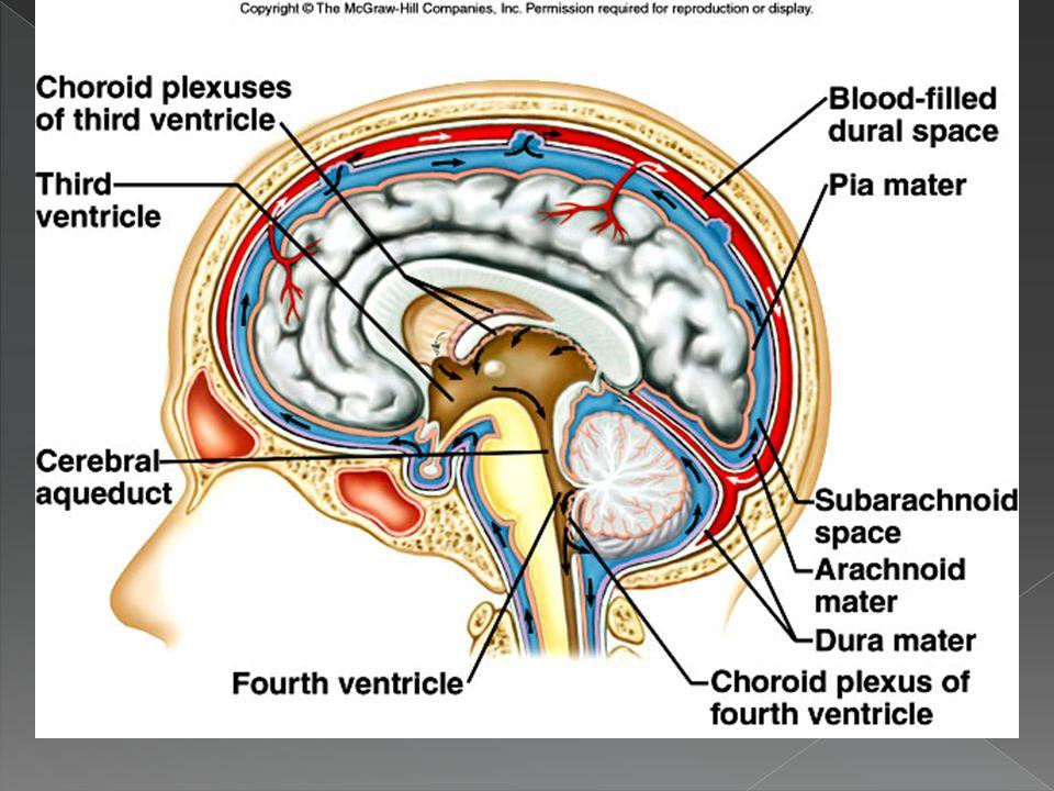 The Meninges (Brain) Subarachnoid space Pia mater