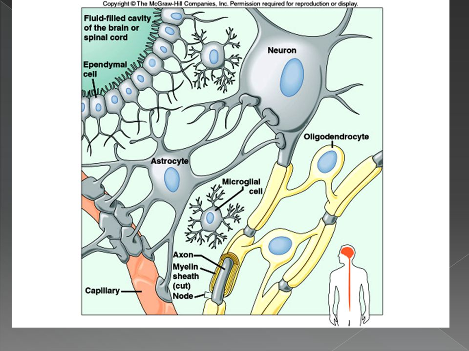 Neuroglial Cells (cont)
