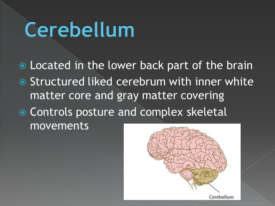 Cerebellum Located in the lower back part of the brain