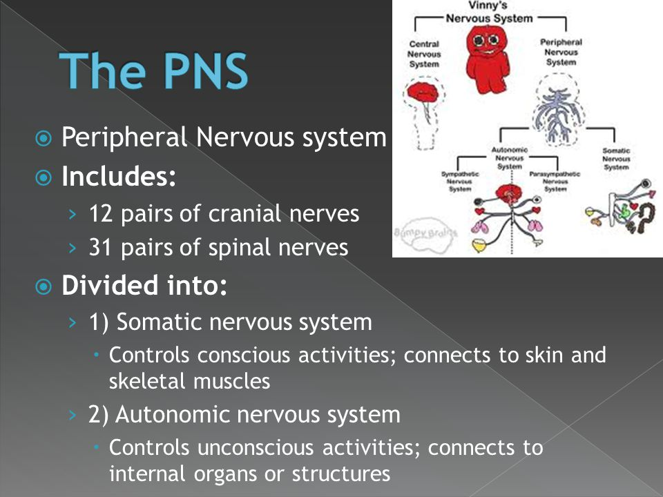 The PNS Peripheral Nervous system Includes: Divided into: