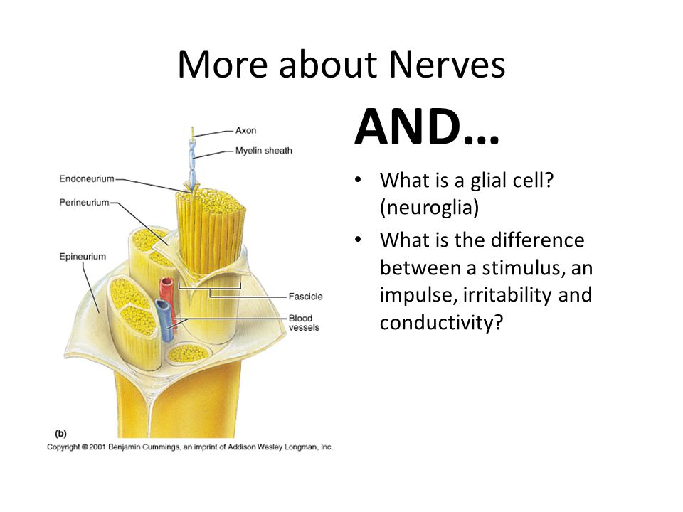 AND… More about Nerves What is a glial cell (neuroglia)