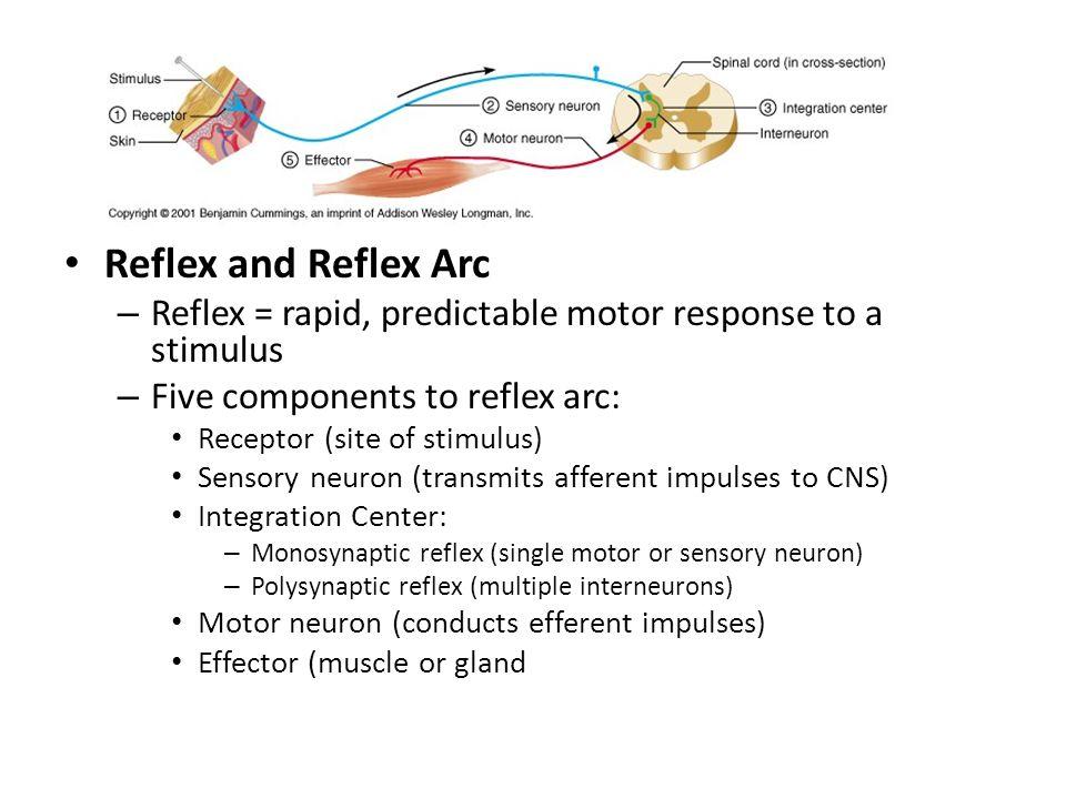 Reflex Reflex and Reflex Arc