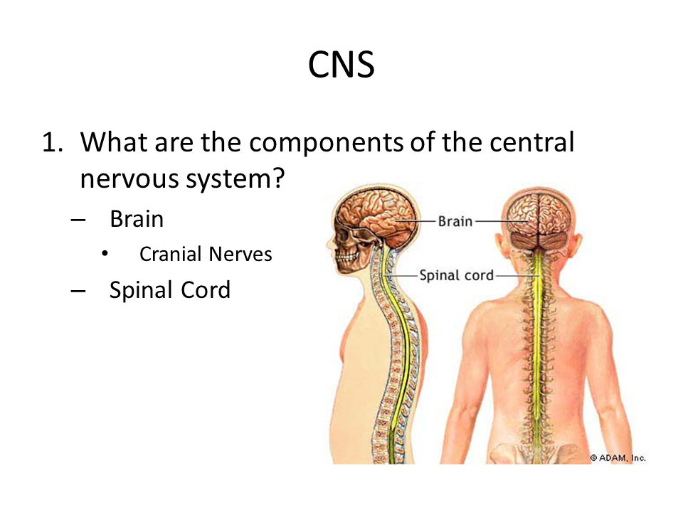 CNS What are the components of the central nervous system Brain