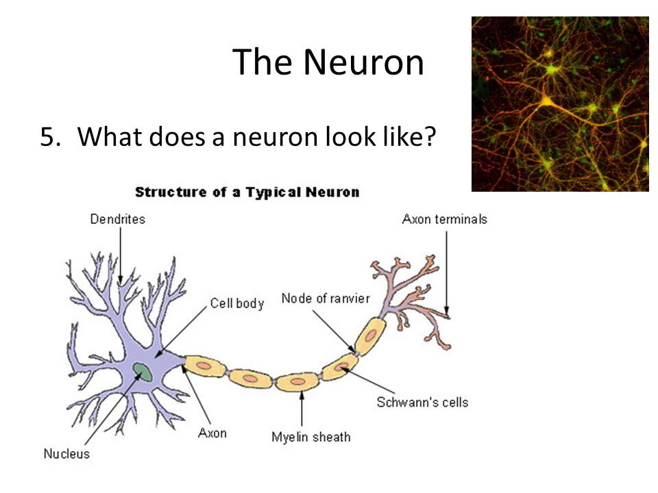 The Neuron What does a neuron look like