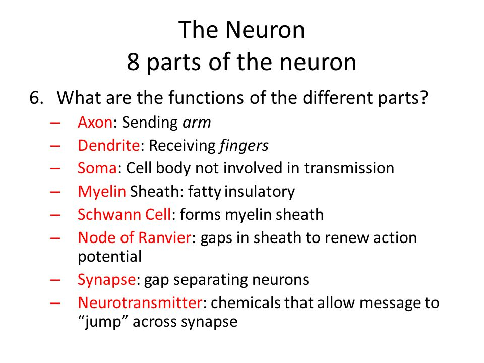 The Neuron 8 parts of the neuron
