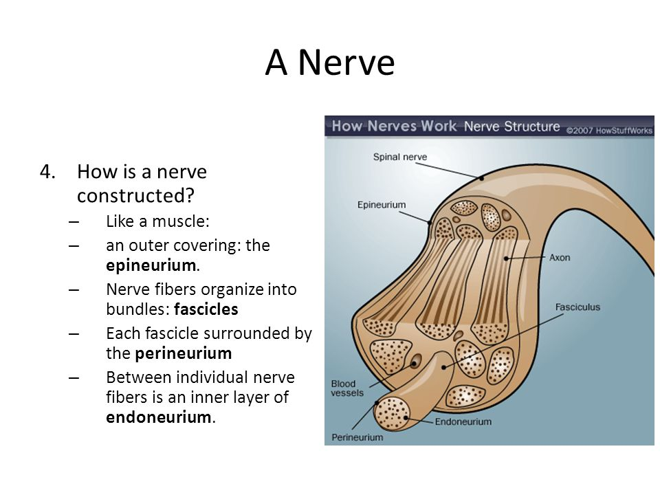 A Nerve How is a nerve constructed Like a muscle: