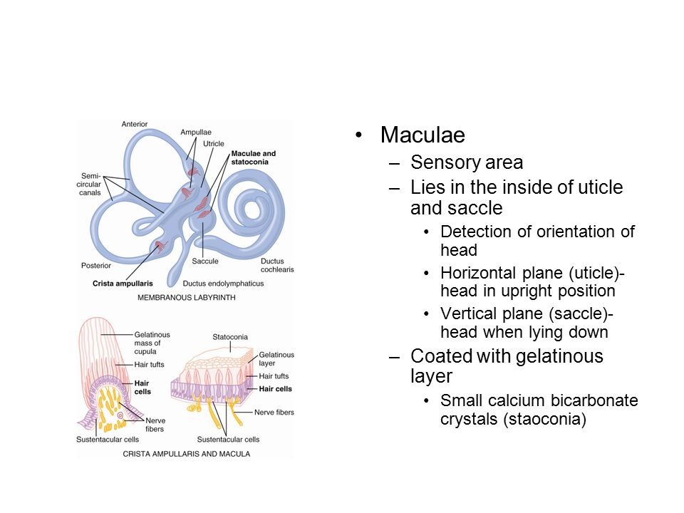 Maculae Sensory area Lies in the inside of uticle and saccle