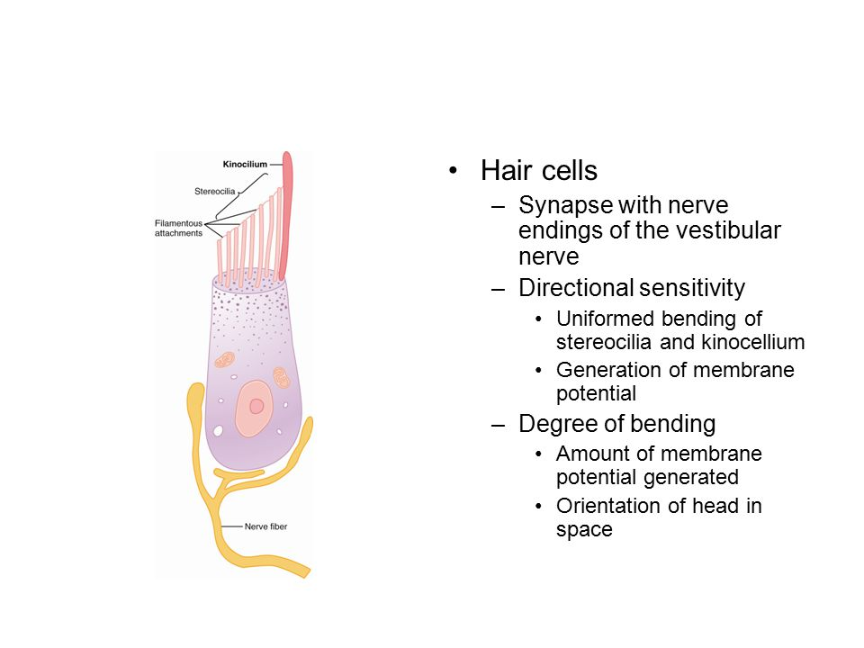 Hair cells Synapse with nerve endings of the vestibular nerve