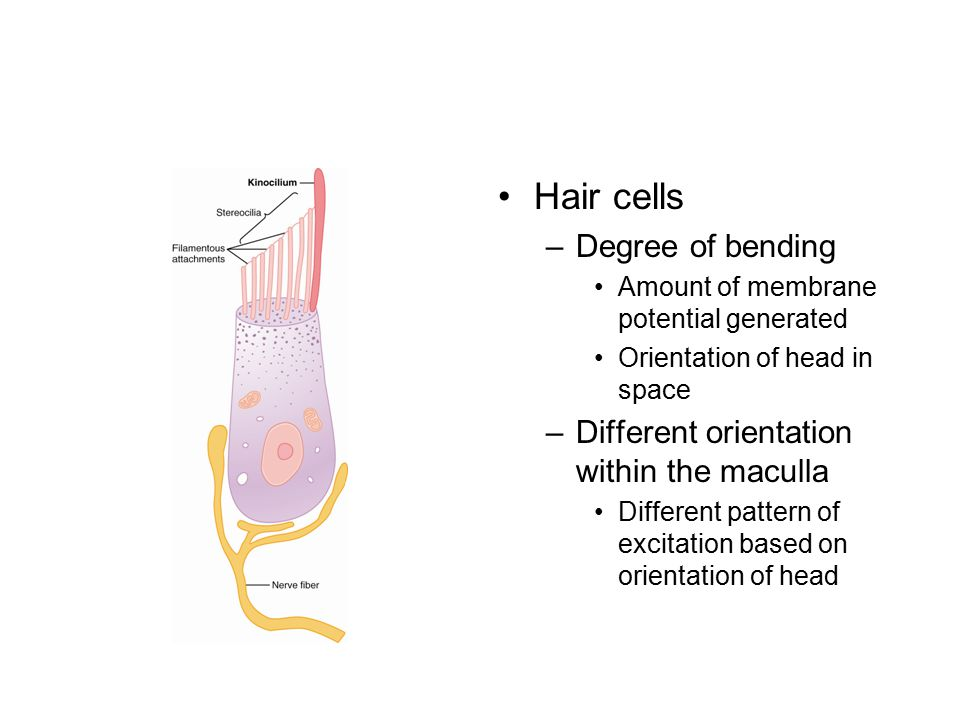 Hair cells Degree of bending Different orientation within the maculla