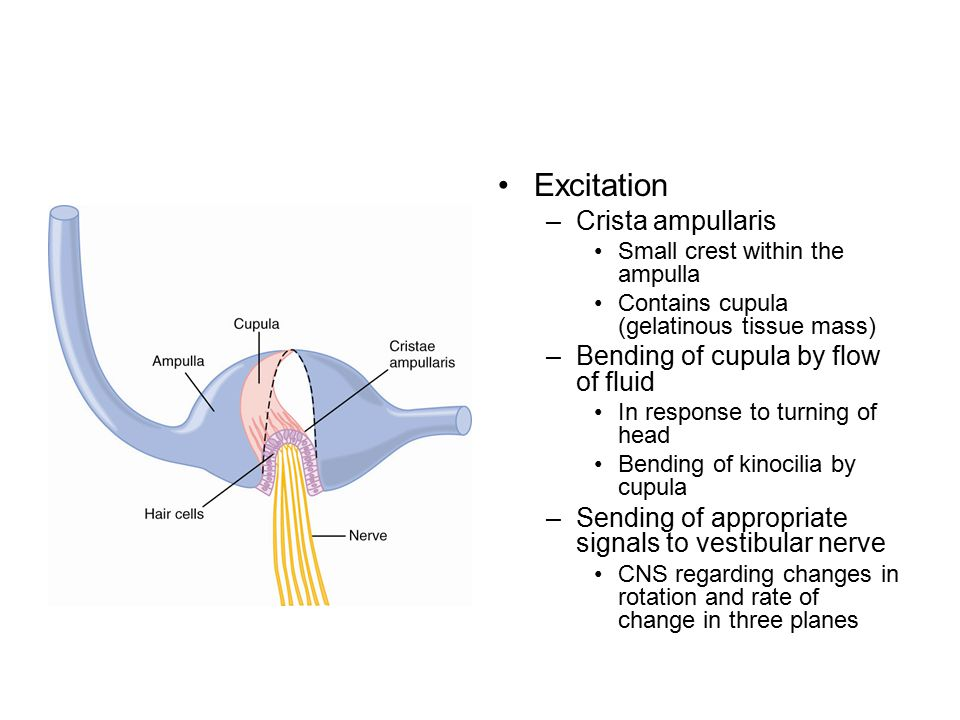 Excitation Crista ampullaris Bending of cupula by flow of fluid