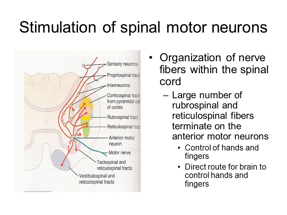 Stimulation of spinal motor neurons