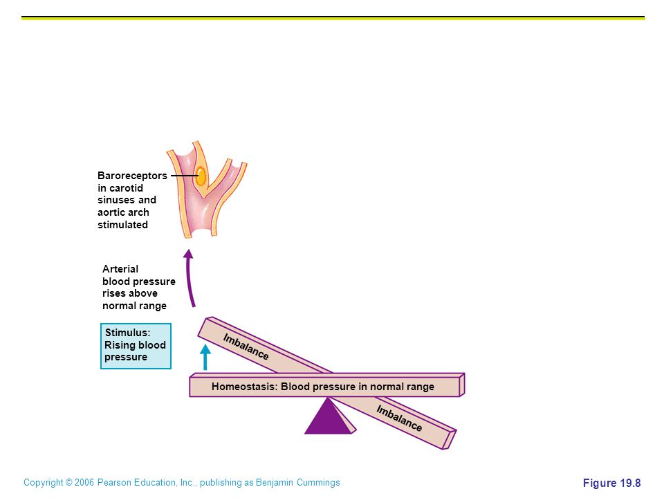 Figure 19.8 Baroreceptors in carotid sinuses and aortic arch
