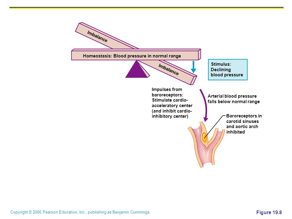 Figure 19.8 Imbalance Homeostasis: Blood pressure in normal range