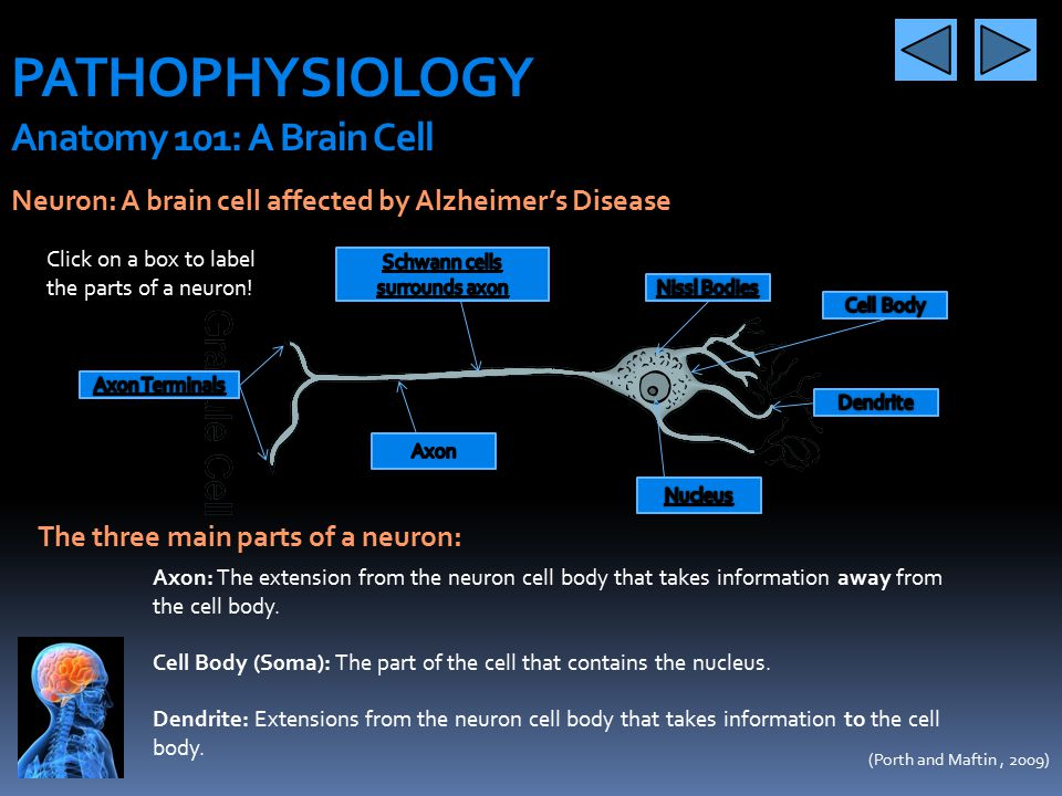 PATHOPHYSIOLOGY Anatomy 101: A Brain Cell