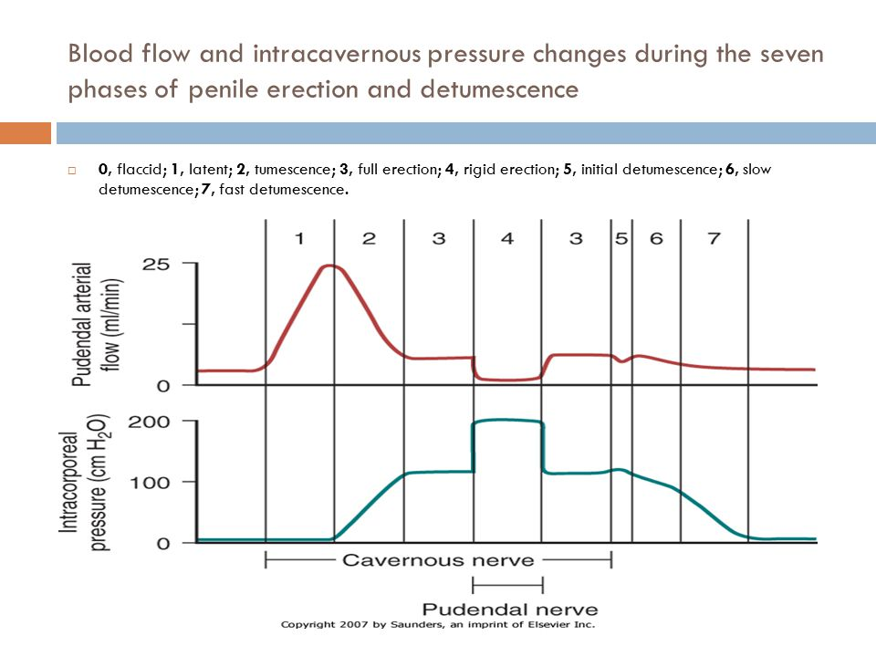 Blood flow and intracavernous pressure changes during the seven phases of penile erection and detumescence