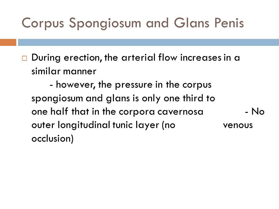 Corpus Spongiosum and Glans Penis