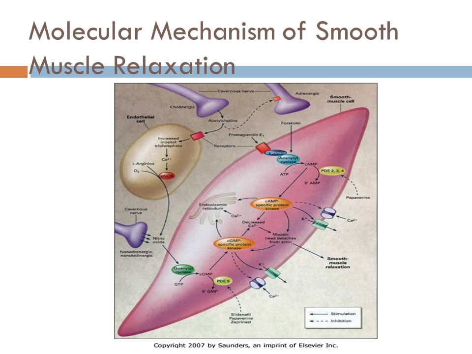 Molecular Mechanism of Smooth Muscle Relaxation
