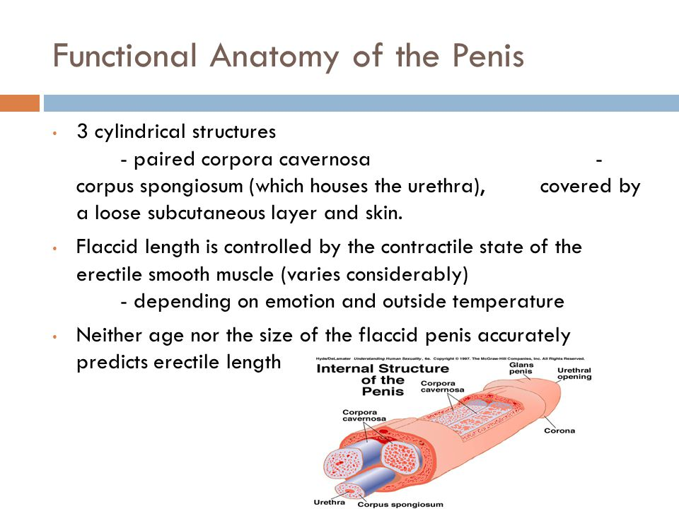Functional Anatomy of the Penis