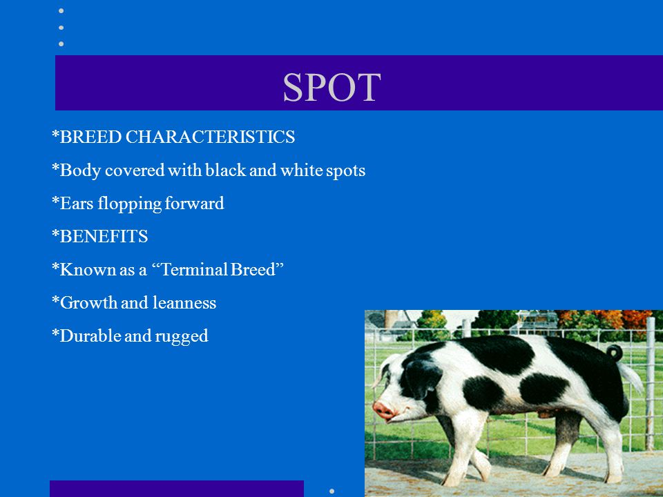 SPOT *BREED CHARACTERISTICS *Body covered with black and white spots