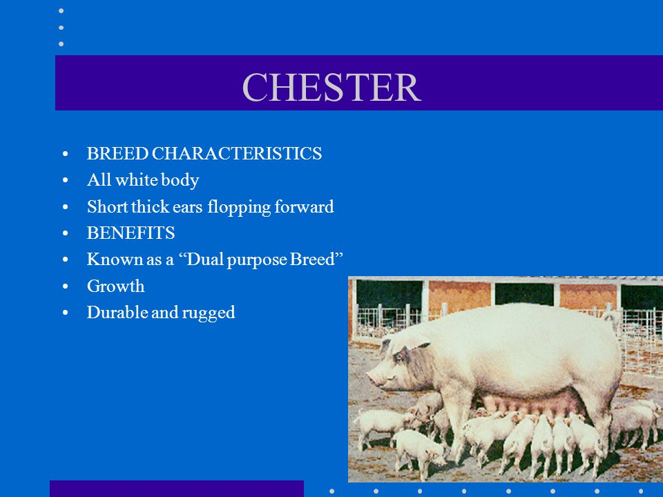 CHESTER BREED CHARACTERISTICS All white body