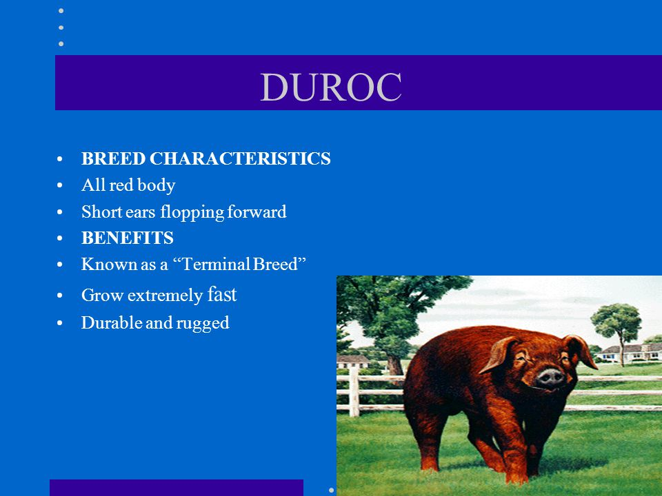 DUROC BREED CHARACTERISTICS All red body Short ears flopping forward