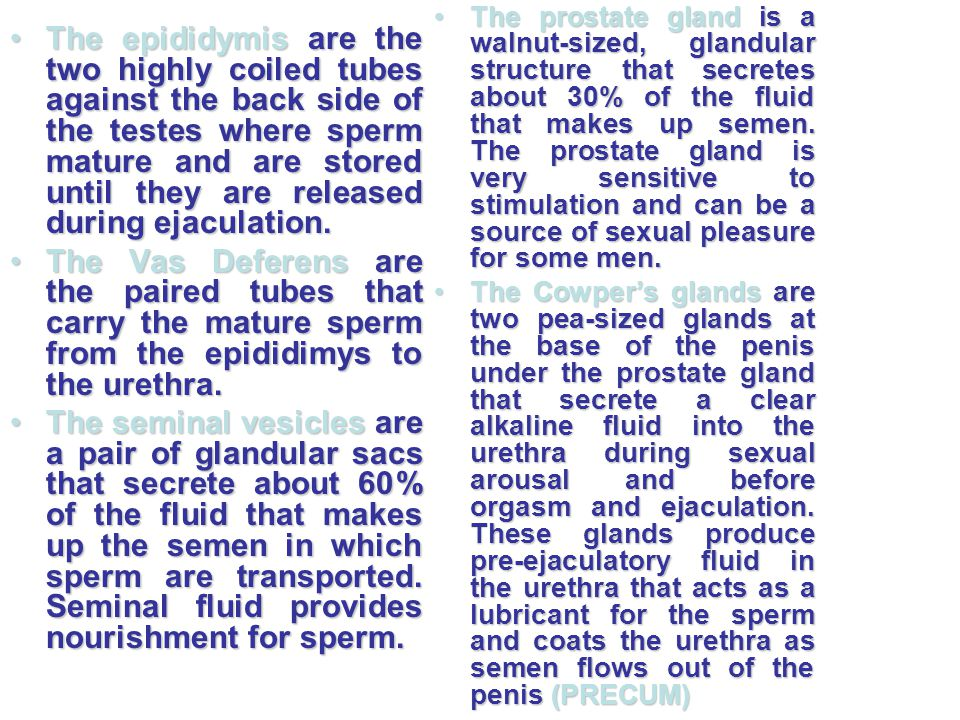 The epididymis are the two highly coiled tubes against the back side of the testes where sperm mature and are stored until they are released during ejaculation.