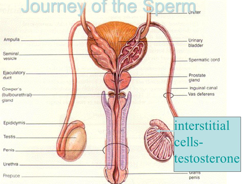 Journey of the Sperm interstitial cells- testosterone