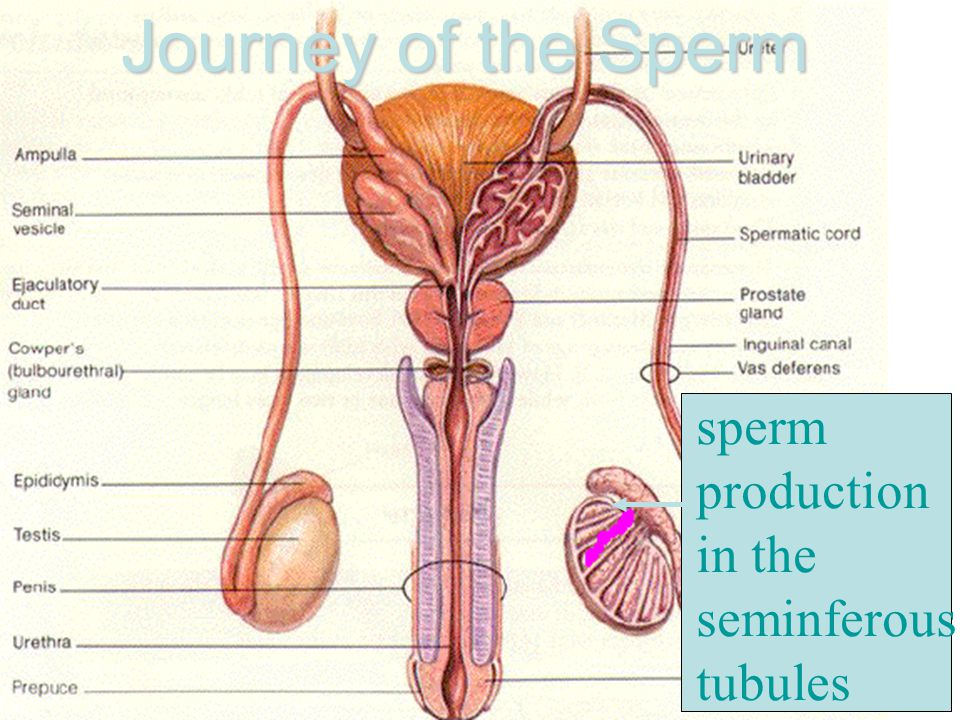 Journey of the Sperm sperm production in the seminferous tubules