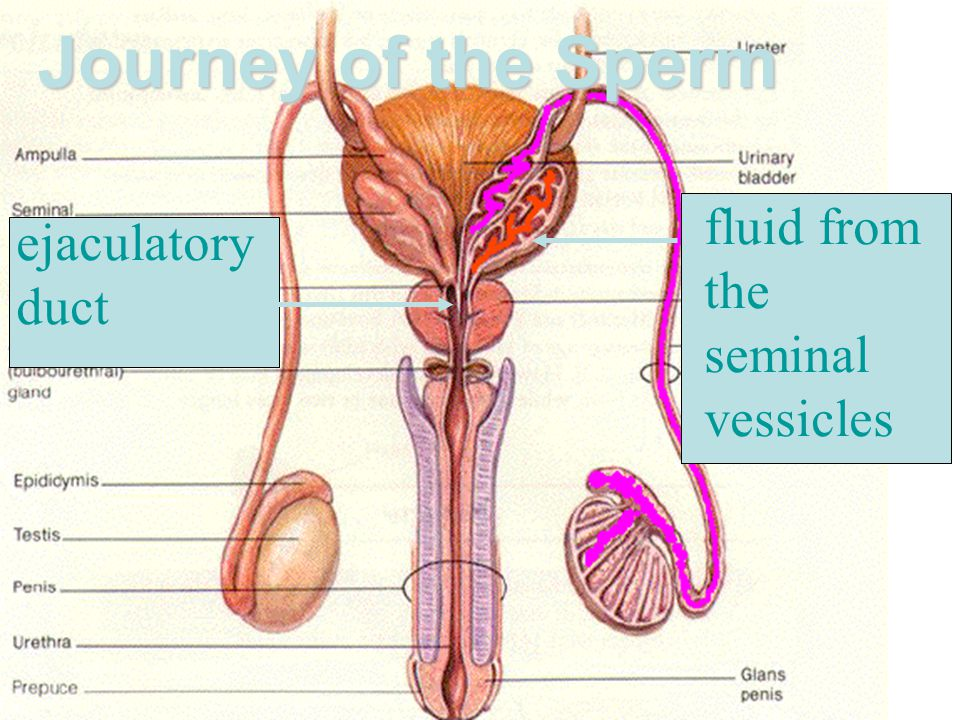 Journey of the Sperm fluid from the seminal vessicles ejaculatory duct
