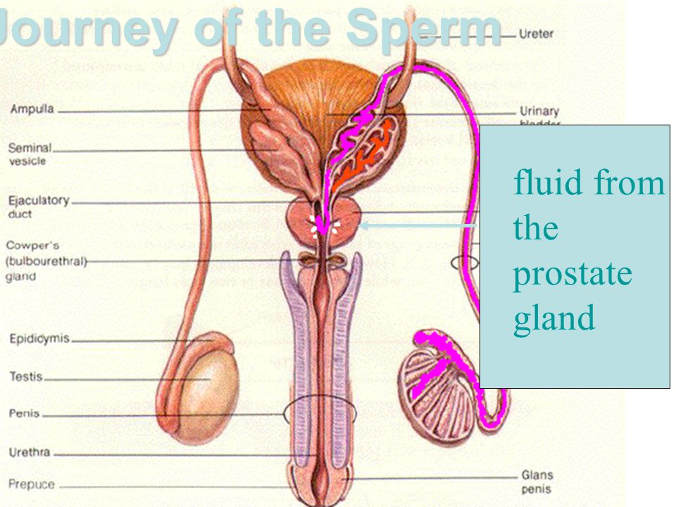 Journey of the Sperm fluid from the prostate gland