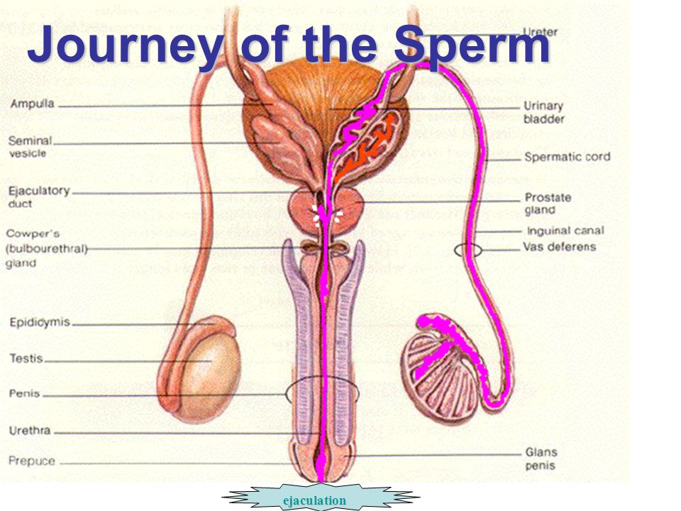 Journey of the Sperm ejaculation