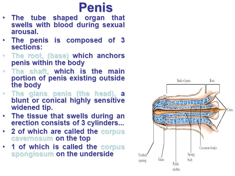 Penis The tube shaped organ that swells with blood during sexual arousal. The penis is composed of 3 sections:
