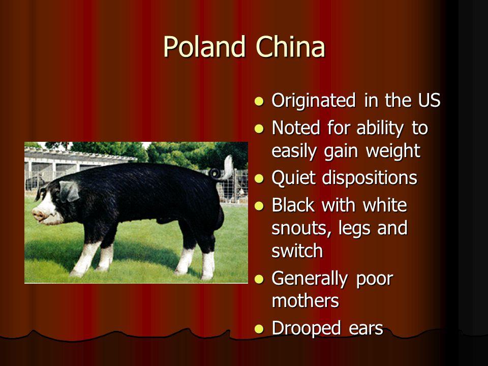 Poland China Originated in the US