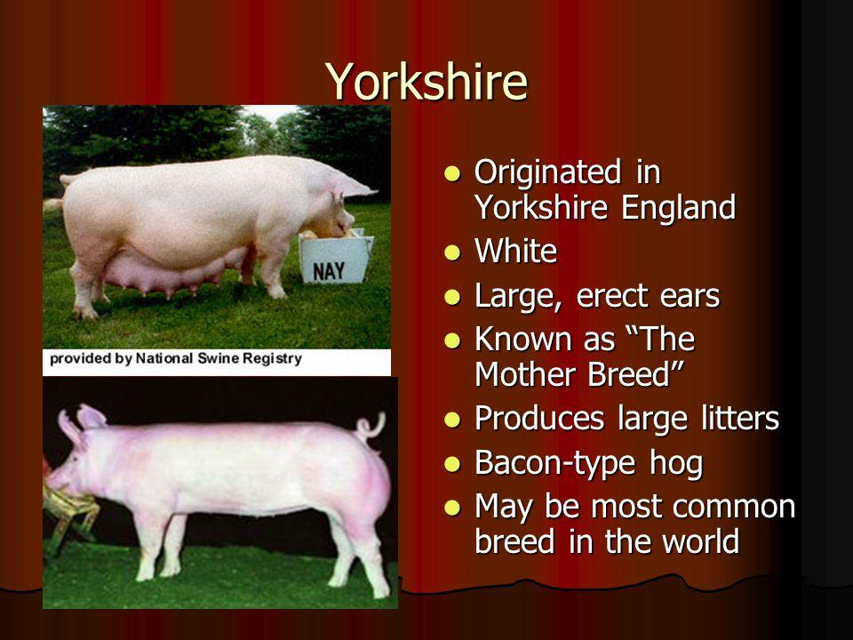 Yorkshire Originated in Yorkshire England White Large, erect ears