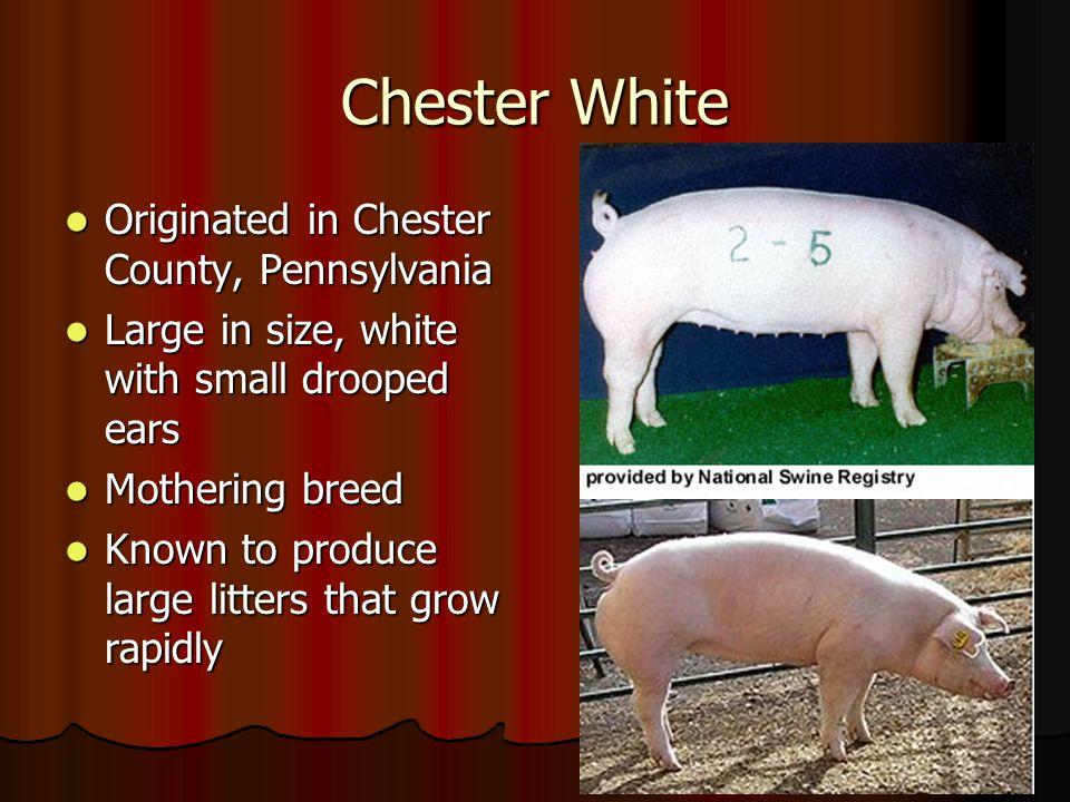 Chester White Originated in Chester County, Pennsylvania