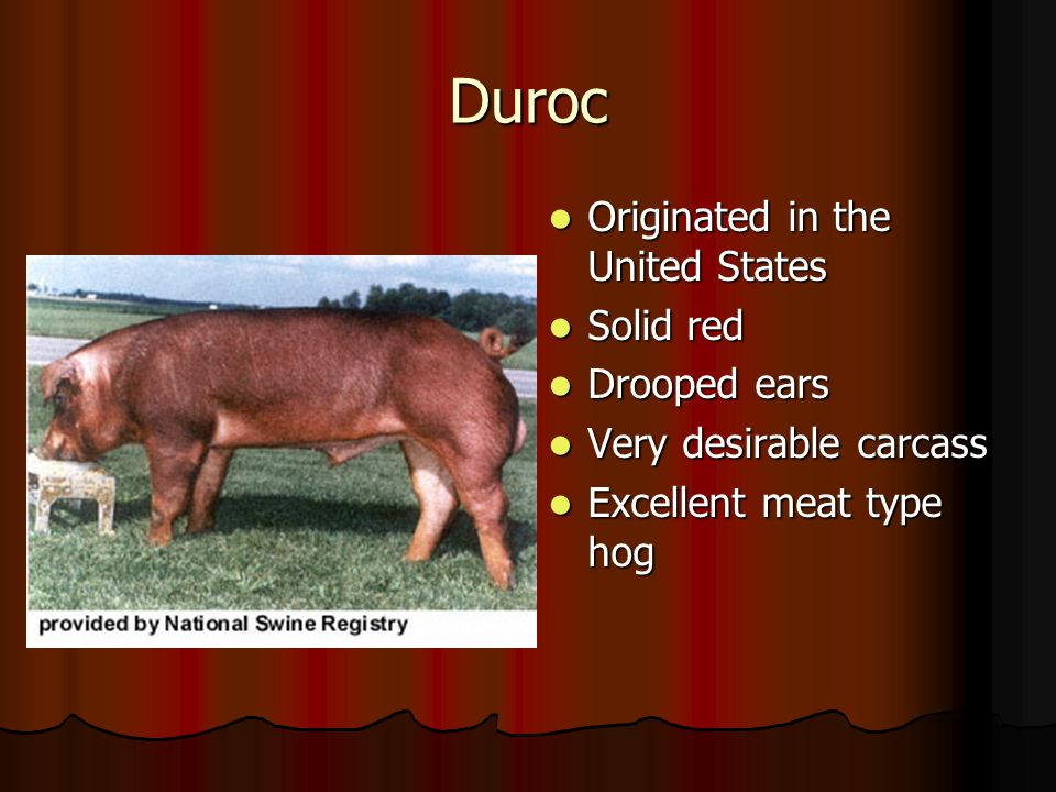 Duroc Originated in the United States Solid red Drooped ears