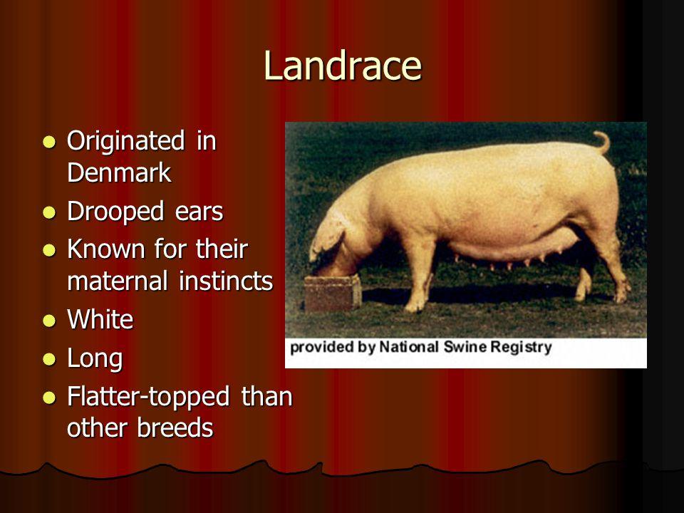 Landrace Originated in Denmark Drooped ears