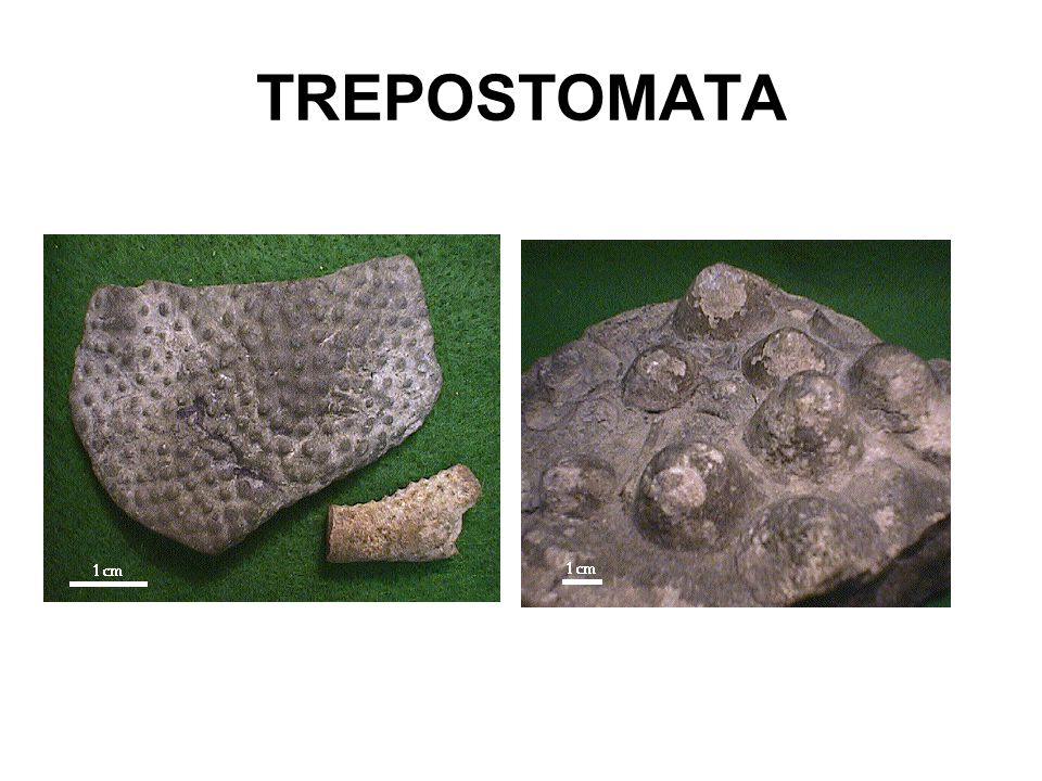 TREPOSTOMATA