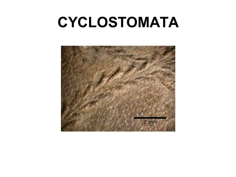 CYCLOSTOMATA