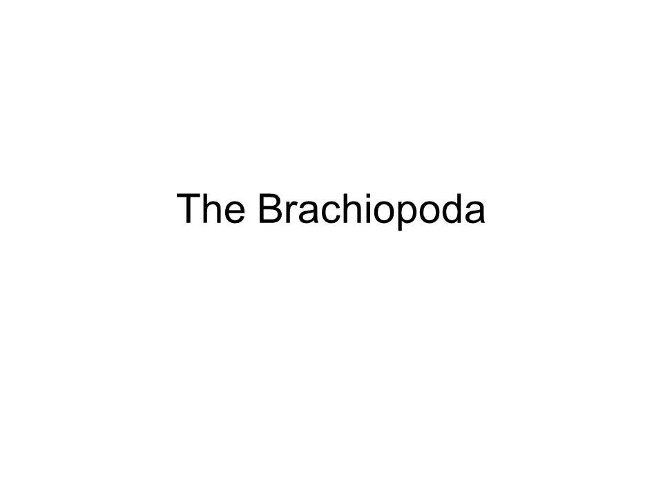 The Brachiopoda
