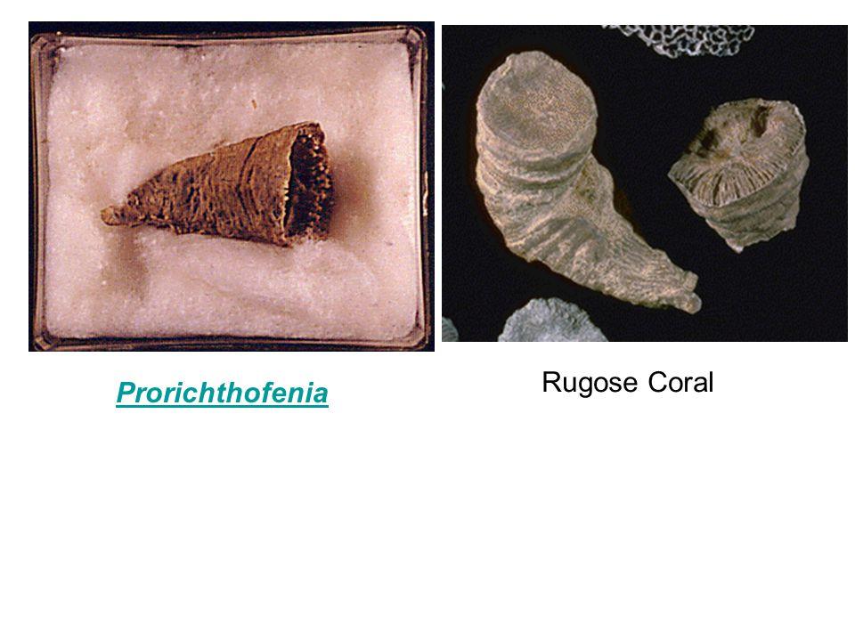 Rugose Coral Prorichthofenia