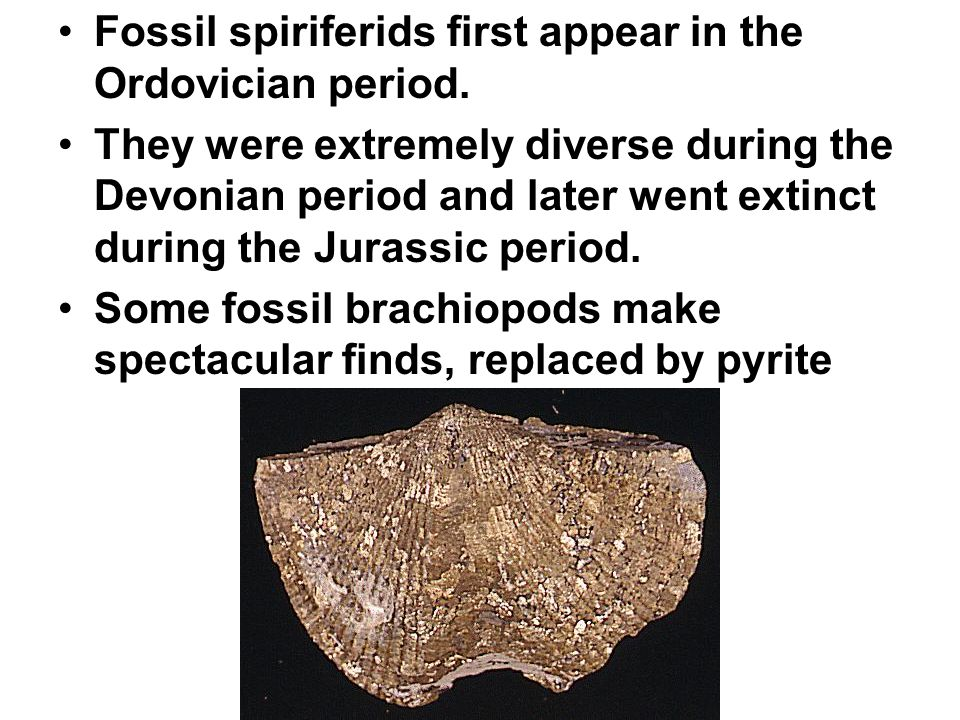 Fossil spiriferids first appear in the Ordovician period.