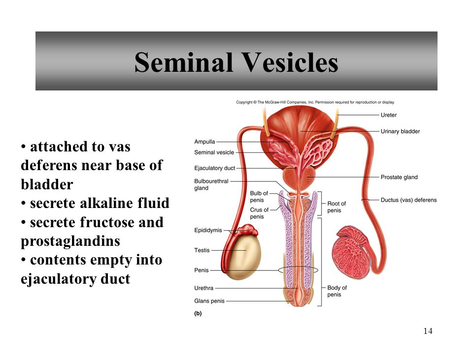 Seminal Vesicles attached to vas deferens near base of bladder