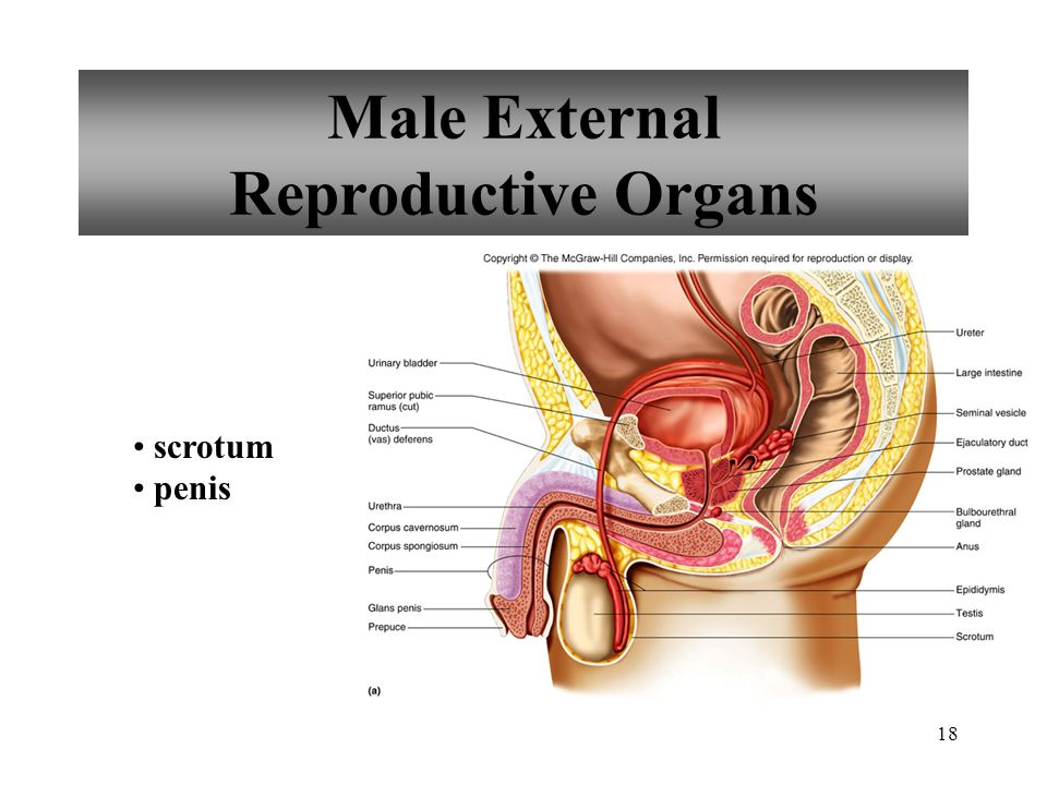 Male External Reproductive Organs